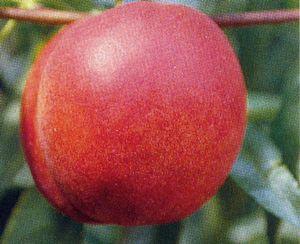 Nectarine 'Red Gold'-0