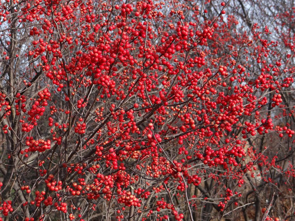 Ilex 'Red Sprite'-1079
