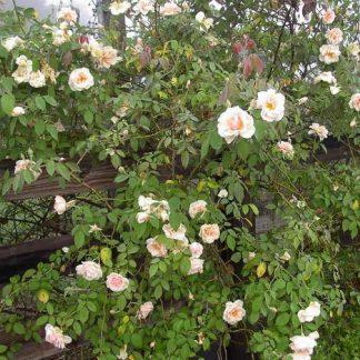 Rose 'Reve d'Or'-0