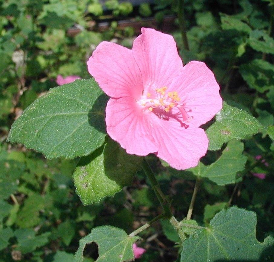 Rock Rose-391