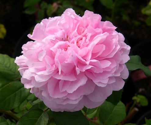 Rose 'Marchesa Boccella-845