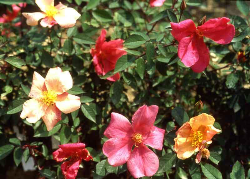 Rose 'Mutabilis'-798