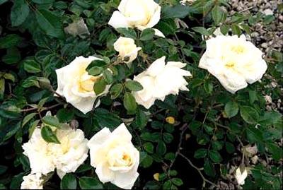 Rose 'Alberic Barbier'-917