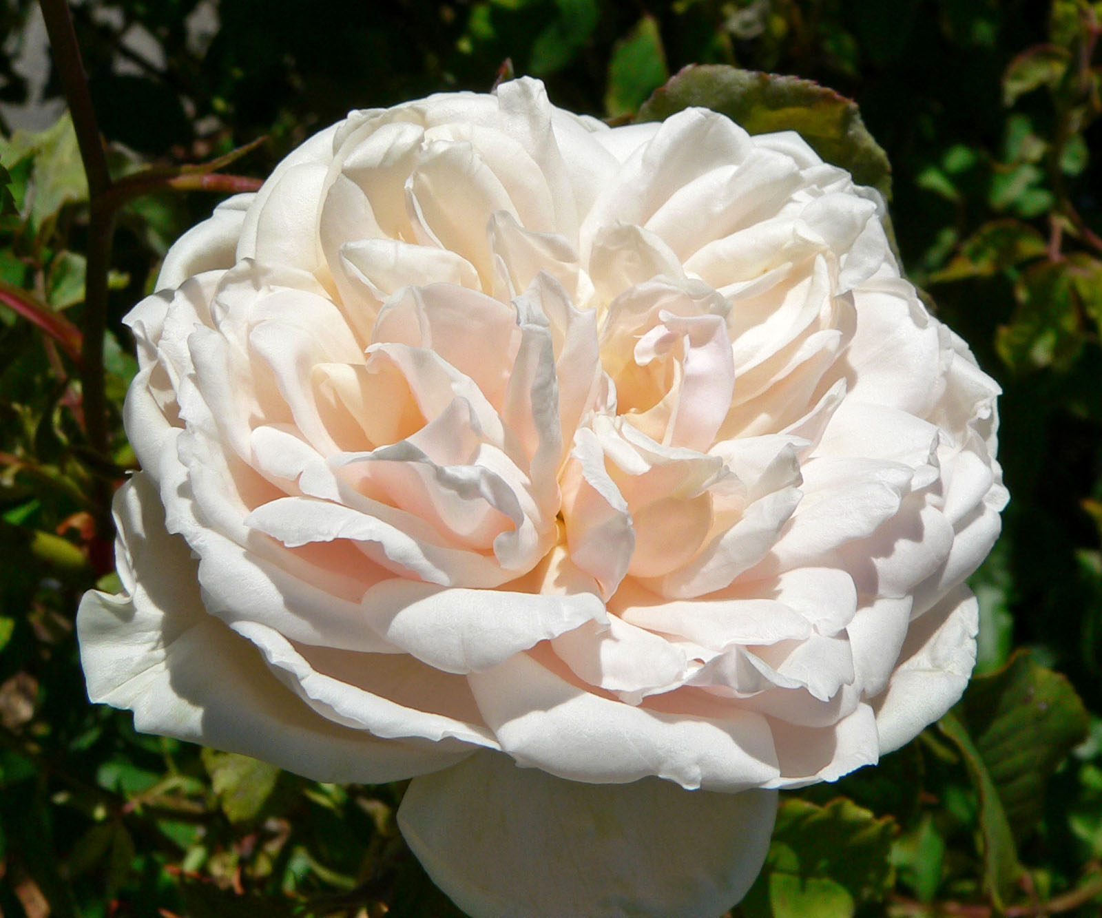 Rose 'Madame Alfred Carriere'-870