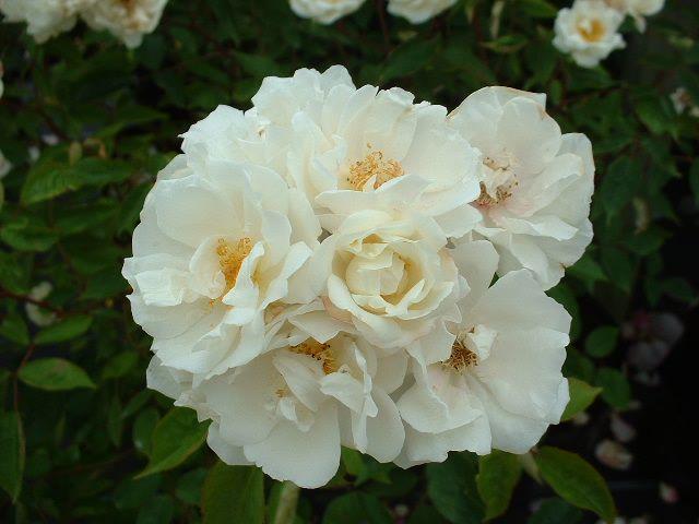 """Rose """"Moonlight'-826"""