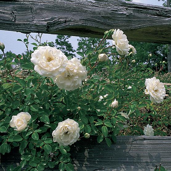 Rose 'Prosperity'-0