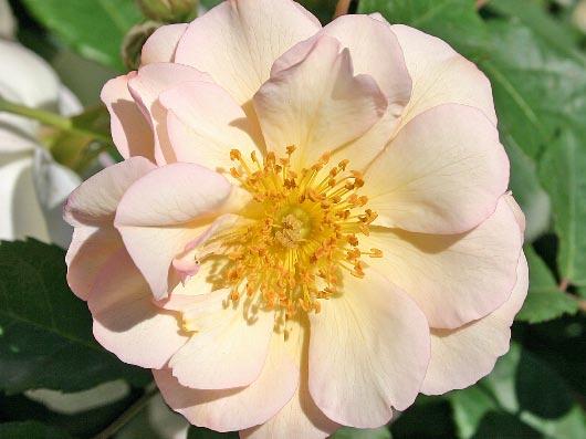 Rose 'Penelope'-829