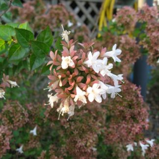 Abelia 'Rose Creek'-0