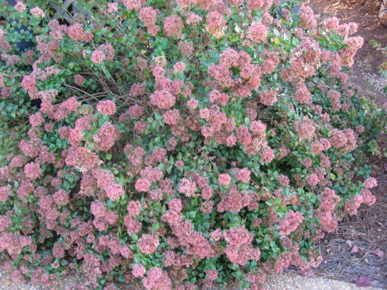 Abelia 'Rose Creek'-1711