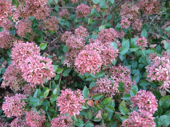 Abelia 'Rose Creek'-1712