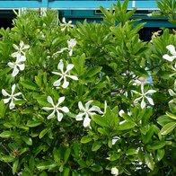 Gardenia 'Rosedown'-0