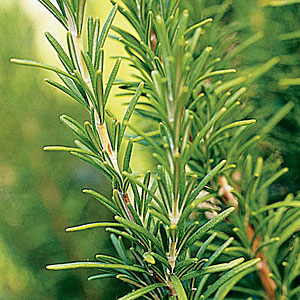 Rosemary 'Pinkie' 1 gallon container-633