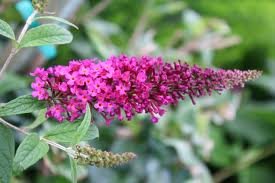 Butterfly Bush 'Royal Red'-1025