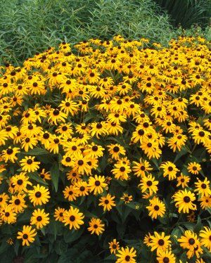 Rudbeckia 'Goldstrum'-0