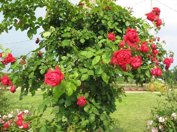 Rose 'Ruth's Red Climber'-0