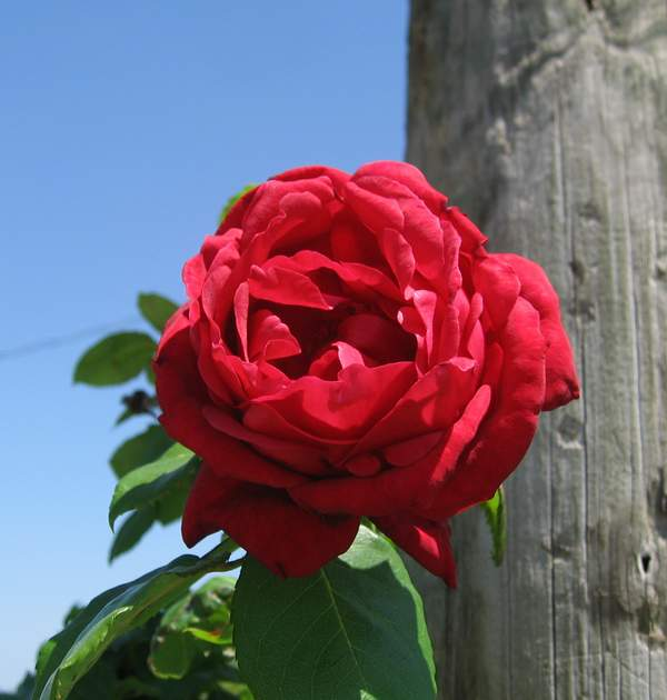 Rose 'Ruth's Red Climber'-970