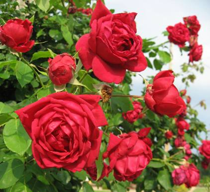 Rose 'Ruth's Red Climber'-969