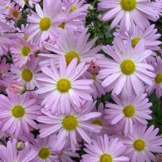 Chrysanthemum 'Ryan's Pink'-0