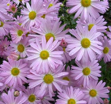 Chrysanthemum 'Ryan's Pink'-0