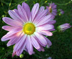 Chrysanthemum 'Ryan's Pink'-1460