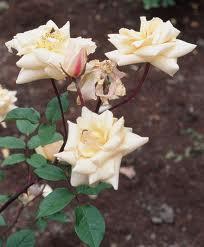 Rose 'Safrano'-0
