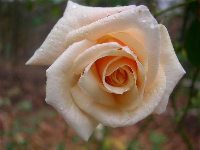 Rose 'Safrano'-1011