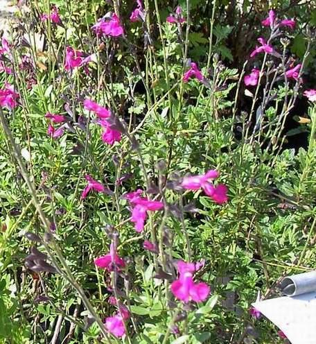 Salvia greggi 'Dark Dancer'-0