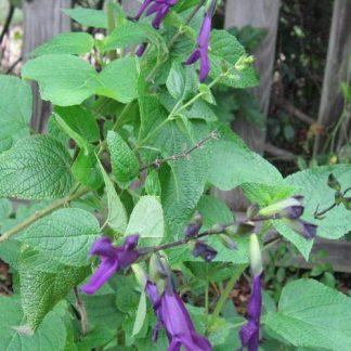 Salvia guaranitica 'Purple Majesty'-0