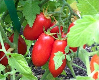 Tomato 'San Marzano'-0