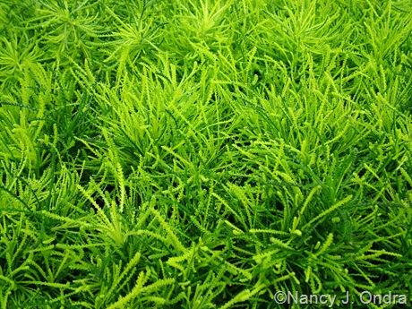 Santolina 'Green'-0