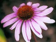 Echinacea 'Magnus'-74