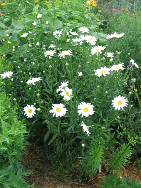 Shasta Daisy 'Alaska'-0