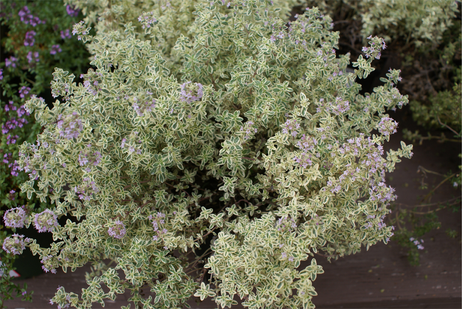 "Thyme 'Silver""-0"