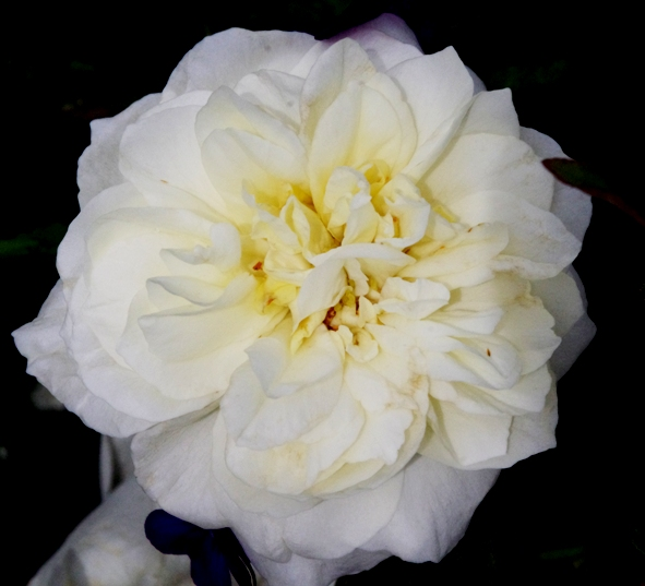 Rose 'Sir Thomas Lipton'-913