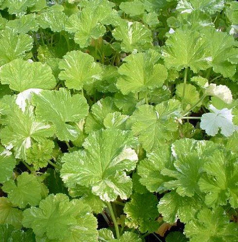 Scented Geranium 'Snowflake'-0