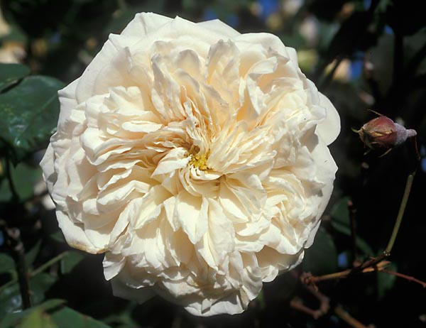 Rose 'Sombreuil'-1013