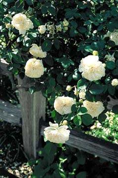 Rose 'Sombreuil'-0