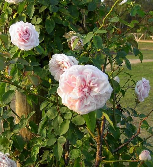Rose 'Souvenir de la Malmaison'-0