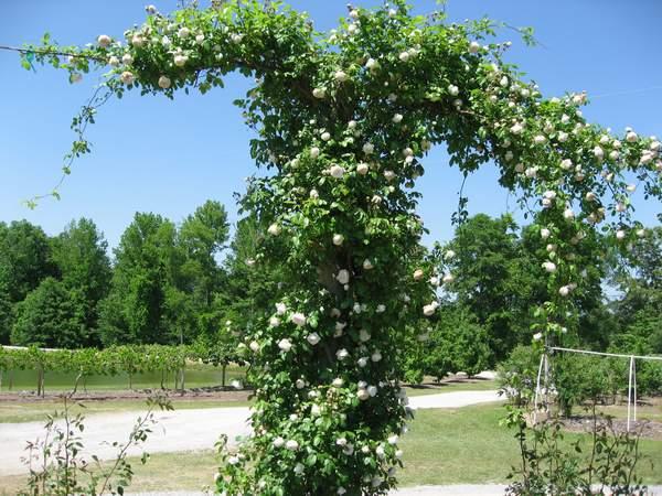 Rose 'Climbing Souvenir de la Malmaison'-0