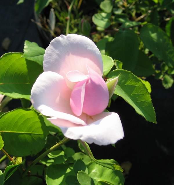 Rose 'Souvenir de St. Anne'-0