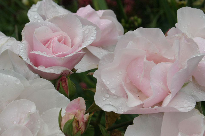 Rose 'Souvenir de St. Anne'-775