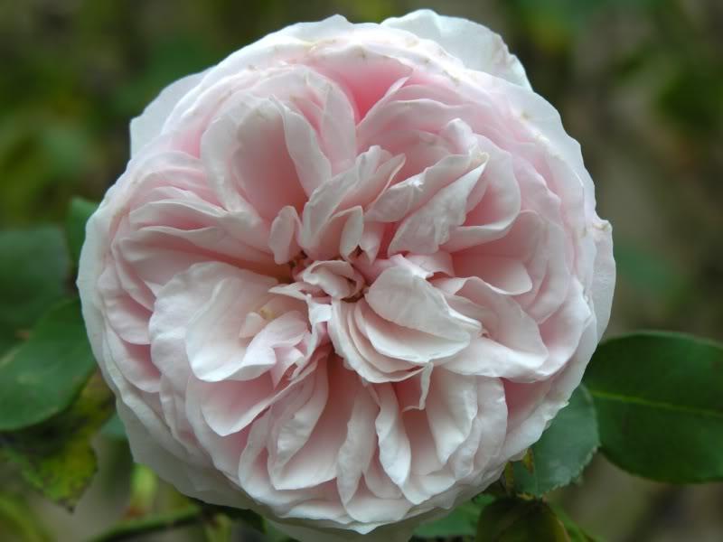 Rose 'Souvenir de la Malmaison'-771