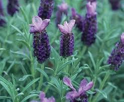 Lavender Spanish-523