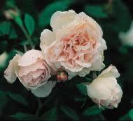 Rose 'Spice'-0