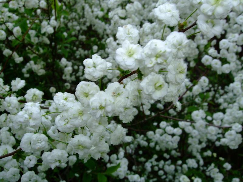 Spirea 'Bridal Wreath'-1125