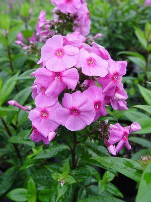 Phlox Paniculata 'Spring Delight'-0