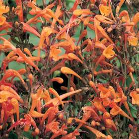 Agastache aurantiaca 'Apricot Sprite'-490