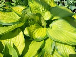 Hosta 'Stained Glass'-0