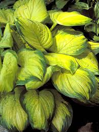 Hosta 'Stained Glass'-133