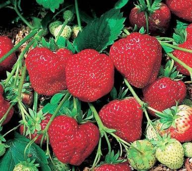 Strawberry 'Chandler' flat 18-1418